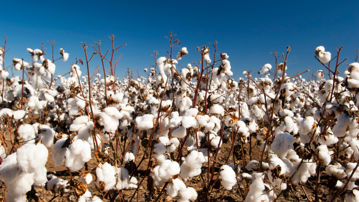 Impending Cotton Ban Threatens Supply Chain Industry
